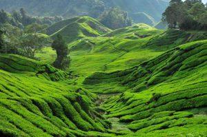 Tea Plantation 1