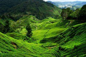 Tea Plantation 2