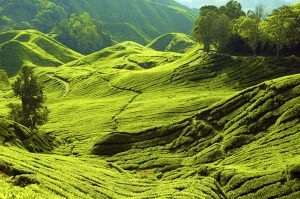 Tea Plantation 4